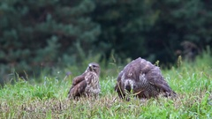Northern Goshawk. Feeding and protection of prey. Stock Footage