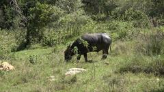 4k Wild buffalo zoom in Rinca island mountain vegetation landscape Indonesia Stock Footage