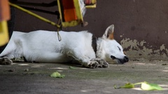 Dog sleeping next to the wall Stock Footage