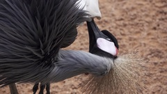 Grey crowned crane cleaning in slow motion Stock Footage
