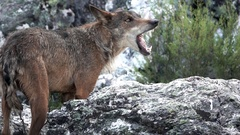 Slow motion of wolf eating over rocks Stock Footage