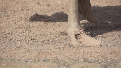 Ostrich walking over small stones in super slow motion Stock Footage