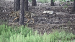 Slow motion of wolf walking in the forest Stock Footage