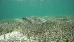 A green sea turtle feeding on a shallow seabed Stock Footage