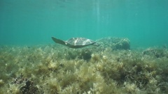 Green sea turtle swimming above shallow seabed Stock Footage