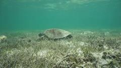 Green sea turtle underwater on shallow ocean floor Stock Footage