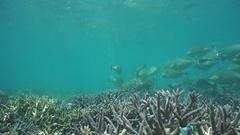 Underwater school of fish bluespine unicornfish Stock Footage