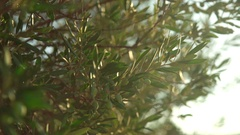 Olive fruit close up Stock Footage
