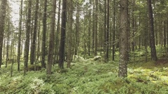 Drone flying slowly between spruce trees inside forest Stock Footage