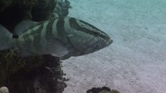 A Nassau Grouper turns and faces the camera. Stock Footage
