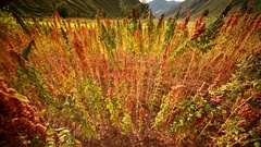 Quinoa field. Andes in South America, here in Peru Stock Footage