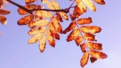 Autumn-coloured rowan tree leaves agains the sky Stock Footage