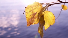 Yellow autumn-coloured birch leaves with gleaming water in the background Stock Footage