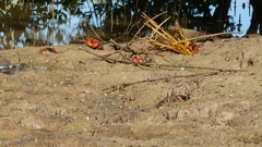 Time lapse: Parasesarma Leptosoma: Arboreal Crabs Stock Footage