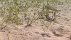 A razorfish hovers above a grassy sandbank before darting into his home buried i Stock Footage