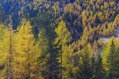 Autumnal Forest, Castello, Cernadoi, Passo di Falzarego, Veneto, Dolomites, Stock Photos