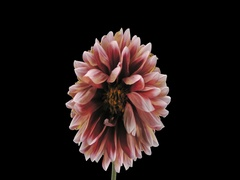 Time-lapse of dying red-white dahlia, 4K with ALPHA channel Stock Footage