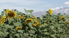 View of sunflower blowing in a lite breeze on a sunny day Stock Footage