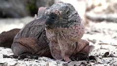 A close up of a Bahamian rock iguana on the beach. Stock Footage
