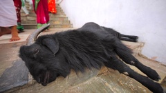 Big black goat is having a rest near Pashupatinath Temple, Kathmandu. Nepal Stock Footage