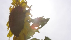 Panning view of sunflower as sun peaks through Stock Footage