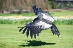Andean condor (Vultur gryphus) Stock Photos