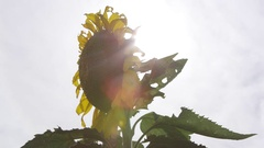 Panning view of sunflower with sun rays Stock Footage