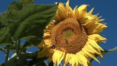 Bees crawling on sunflower on a sunny day Stock Footage