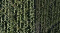Aerial view panning from sunflower field to corn field Stock Footage