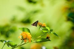 Moth sitting on lantana Stock Photos
