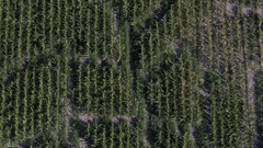 Aerial view of old corn maze while lowering towards the ground Stock Footage