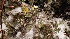 Redberry tree brunch under snow in a snowy day Stock Footage
