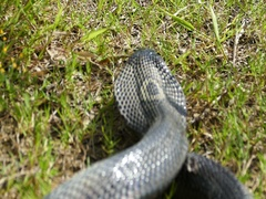 Cobra snake sleeping Stock Footage