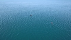 Aerial - Flying above two dolphins slowly swimming on the surface of the sea Stock Footage