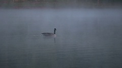 Goose in misty lake in morning Stock Footage