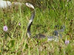 Cobra snake in natural habitat Stock Footage