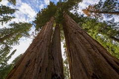 5K MoCo Timelapse Low Angle Tracking Shot of Giant Sequoia Grove  Stock Footage