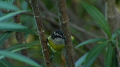 Bananaquit squabbles Stock Footage