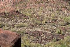 Organ Pipe Cactus N.M., Arizona, USA Stock Photos