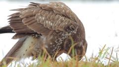 Common Buzzard. Feeding. Winter. Stock Footage