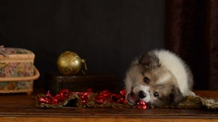 Little puppy plays with Christmas decorations, lying on an antique dresser Stock Footage