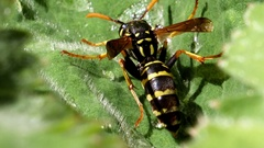 Wasp drinks drops on a green leaf Stock Footage
