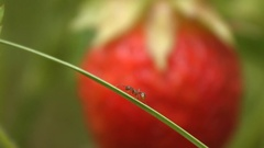 Strawberries and ant. Close-up. Stock Footage