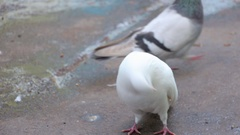 White pigeons in front of camera Stock Footage