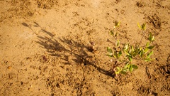 Time Lapse of a tiny mangrove tree and its moving shadow in the sun Stock Footage