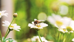 Bumble-Bee Pollinating Flower In Summer, Hive, Macro Stock Footage