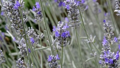 Insects on Lavandula Stock Footage