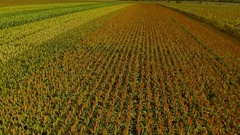 Flying over the field. Grain sorghum Stock Footage