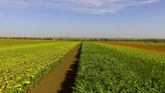 Agricultural crops in the field. Sunflower and corn. Aerial shooting Stock Footage