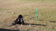Puppy playing in the grass at park Stock Footage